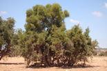 Eisenholzbaum