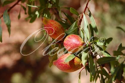 Arganfrucht