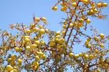 Argan-Frucht