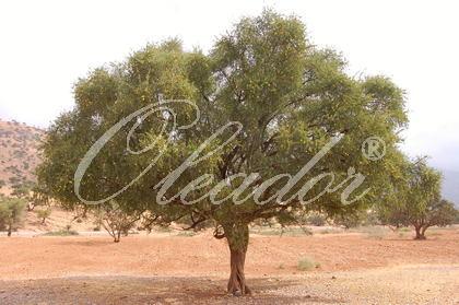 Arganbaum