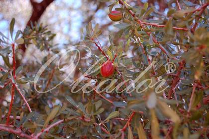 Früchte des Arganbaums