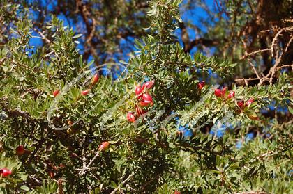 Der Argan Baum