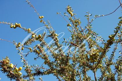 Arganienbaum
