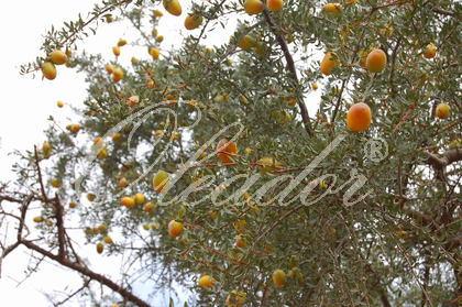 Arganenbaum