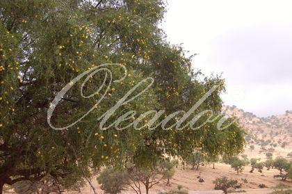 Arganbäume