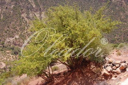Marokkanischer Futterbaum