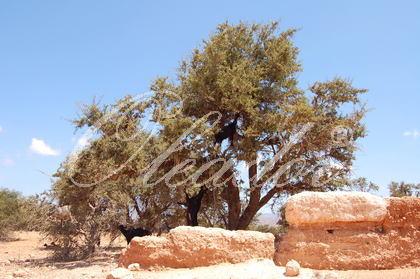 Marokkaanse Olijfboom