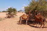 Arganbaum Kamele