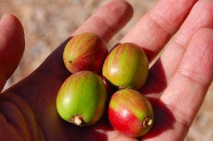 Arganbaum Früchte