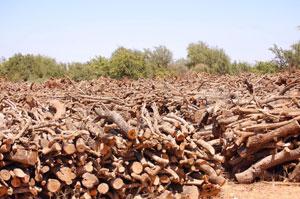 Arganbaum Abholzung
