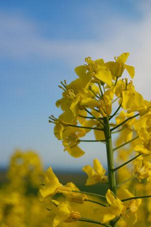 Brassica napus