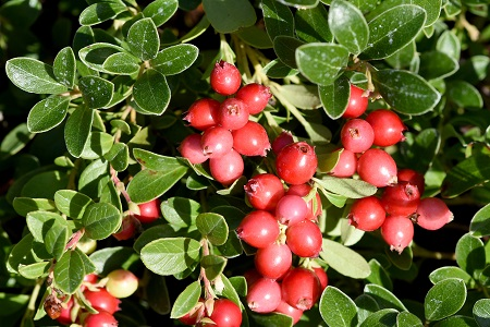 Cranberrysamenöl