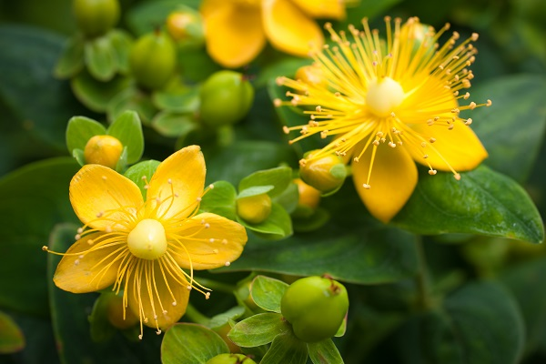 St John's wort oil, maceration